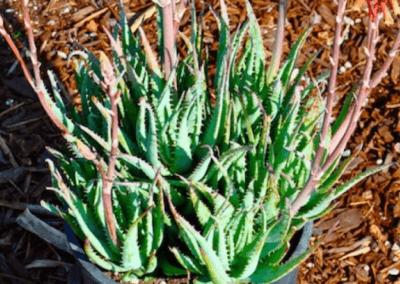 Blue Elf Aloe, orange county succulents, aloe succulents, aloe plants for sale, best aloe plants, what is aloe, aloe succulents