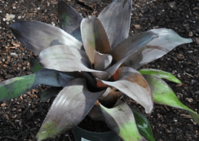 Bromeliad Takemura Grande, orange county succulents, oc succulents, irvine plants for sale, wholesale garden supplies, wholesale california nursery, best succulents, what is a succulent