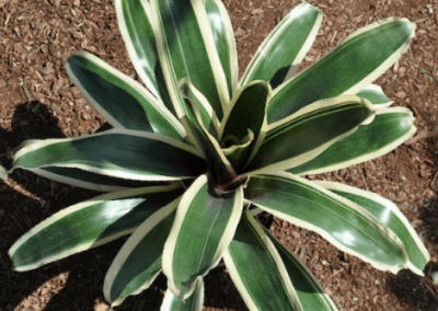 bromeliad-ying