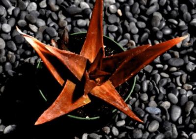 orange county succulents, aloe succulents, aloe plants for sale, best aloe plants, what is aloe, aloe succulents