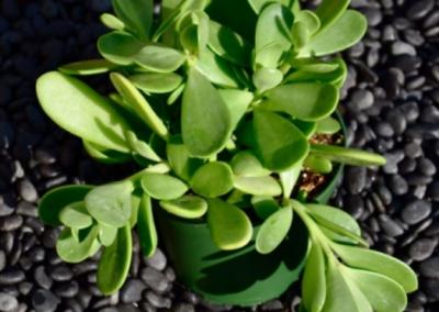 orange-county-succulents-senecio-jacobsenii
