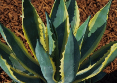 Americana Variegata, orange county succulents, succulents for sale in california, wholesale nursery orange county, agave succulent
