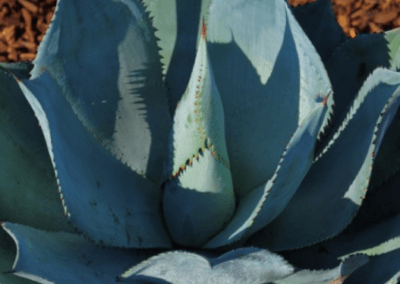 orange county succulents, succulents for sale in california, wholesale nursery orange county, agave succulent