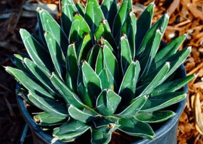 Victoriae Reginae Agave, orange county succulents, succulents for sale in california, wholesale nursery orange county, agave succulent