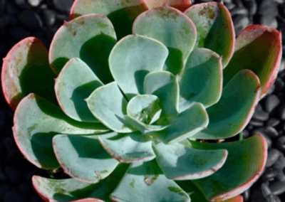 Cecheveria Blue Sky