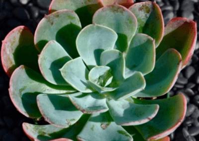 orange county succulents, oc succulents, best succulents for sale, orange county nursery, nursery in los angeles, wholesale irvine nursery,