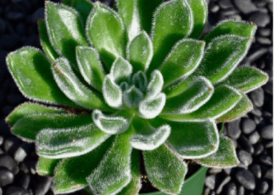 cecheveria-setosa, orange county succulents, oc succulents, best succulents for sale, orange county nursery, nursery in los angeles, wholesale irvine nursery,