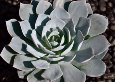 Cecheveria Subsessilis