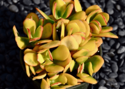 Crassula Ovata Hummel Sunset