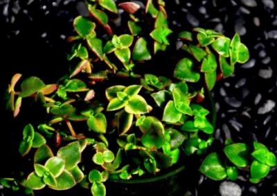 orange-county-wholesale-nursery-crassula-pellucida