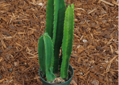 Euphorbia Best Succulents For Sale In Orange County Plants