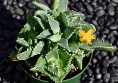 range-county-wholesale-nursery-succulents-irvine-succulents-faucaria-tigrina