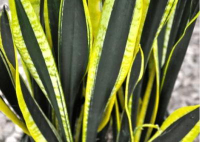 wholesale-succulents-for-sale-retail-nursery-irvine-orange-county-sanseveria-black-gold-extreme