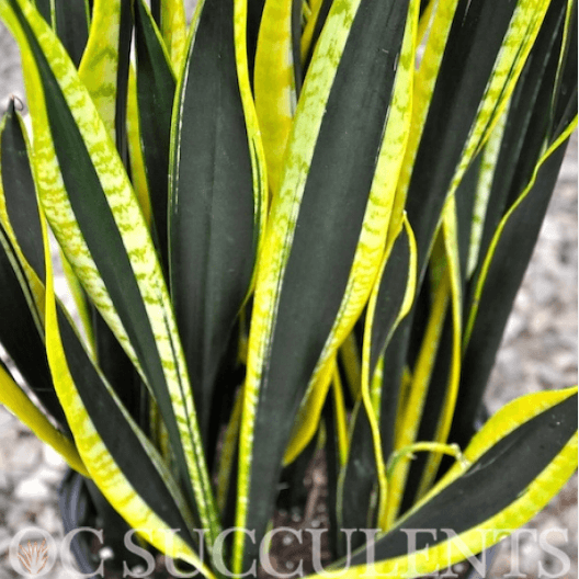 Sanseveria Oc Succulents Wholesale Irvine Nursery