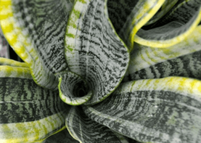 wholesale-succulents-for-sale-retail-nursery-irvine-orange-county-sanseveria-futura-superba