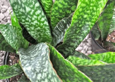 wholesale-succulents-for-sale-retail-nursery-irvine-orange-county-sanseveria-jaboa