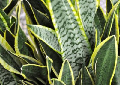 wholesale-succulents-for-sale-retail-nursery-irvine-orange-county-sanseveria-laurentii