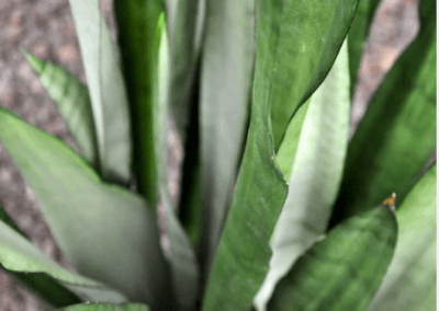 Sanseveria Silber Queen