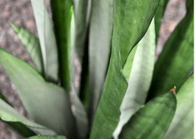wholesale-succulents-for-sale-retail-nursery-irvine-orange-county-sanseveria-silber-queen