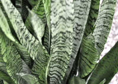 Sanseveria Zeylanica