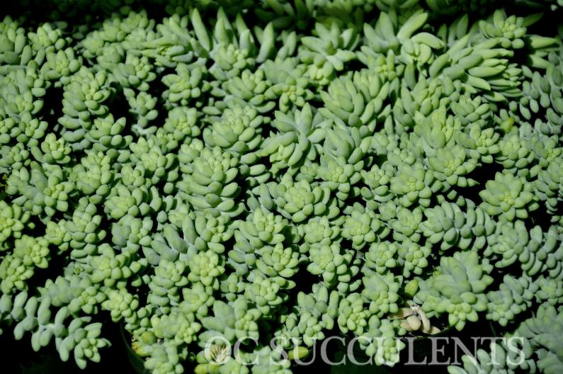 Sedum Morganium (Donkey's Tail), Drought Tolerant Plants