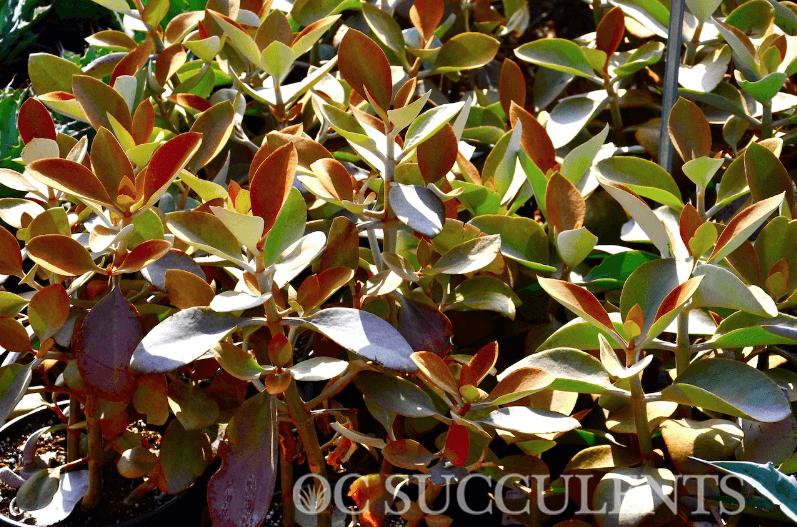 Kalanchoe Orgyalis Copper Spoons, a drought tolerant plant