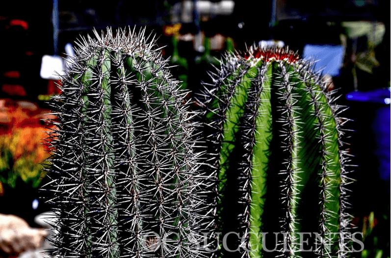 Saguaro and Cardon Cactus, a drought tolerant plant.