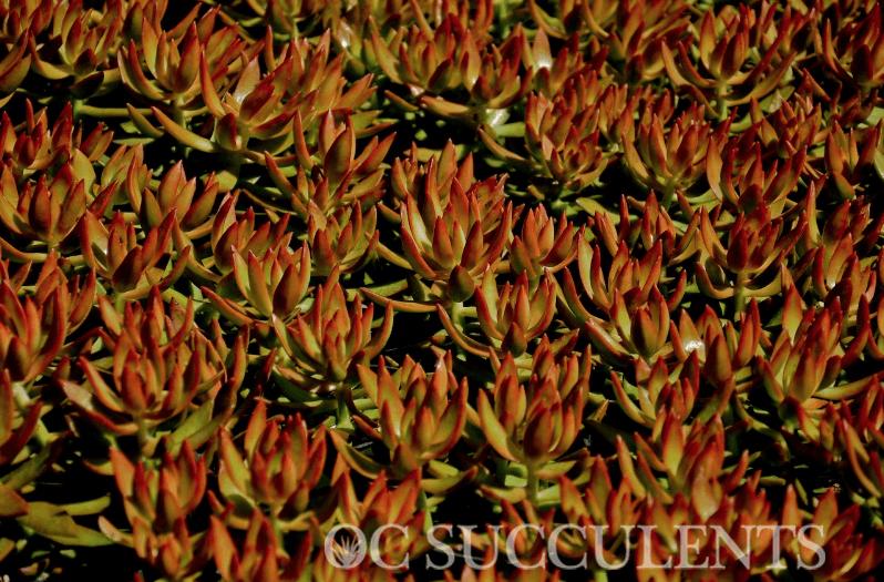 Sedum Nussbaumerianum - Coppertone Stonecrop, a succulent.