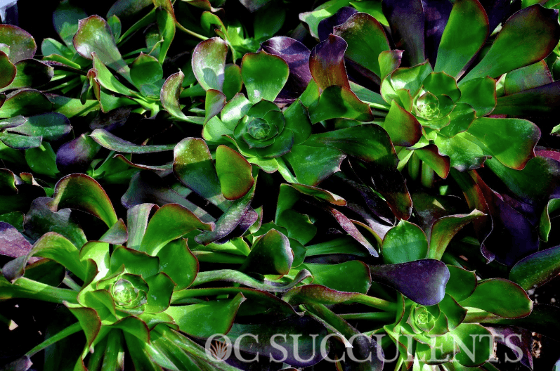Aeonium Cyclops Succulent for sale from expert nursery in Orange County, California