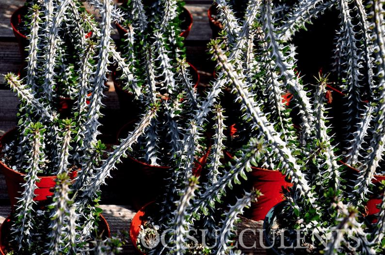 Alluadia Procera (Madagascan Ocotillo) succulent for sale in Orange County, CA