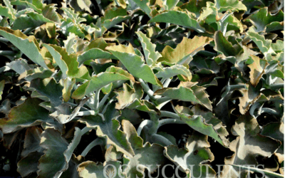 Felt Plant – Kalanchoe Beharensis