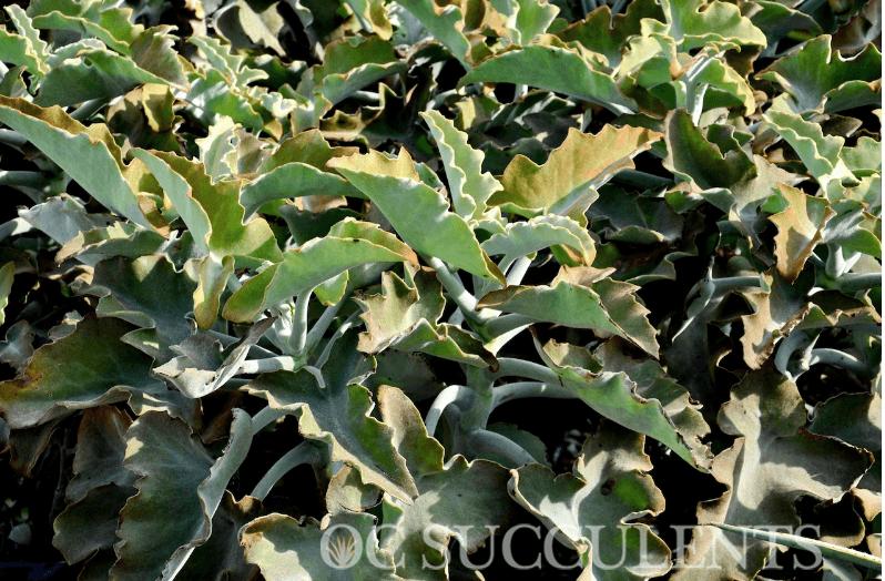 Felt Plant - Kalanchoe Beharensis Succulent for Sale Online