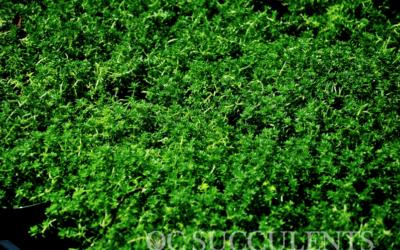 Sedum Green Carpet