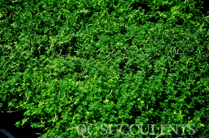 Sedum Green Carpet Succulent for Sale. Best Wholesale Prices