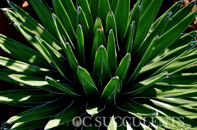 How To Plant An Agave Succulent Plant Blog