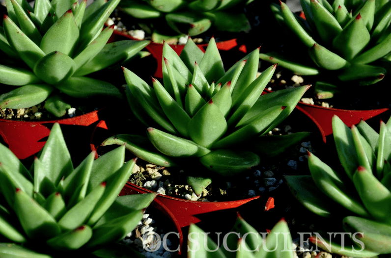 Plants that store water, succulents