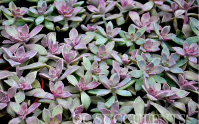 How to Water Your Succulents