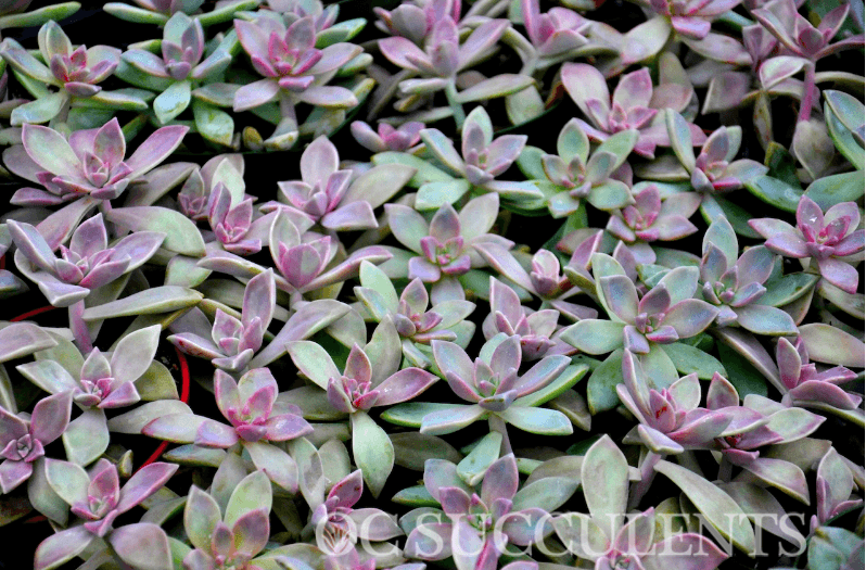 Water your succulents from drought tolerant plant experts