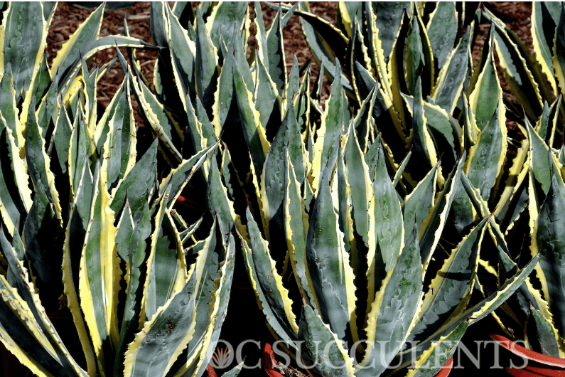 Century Plants, succulents for sale, agave, garden blog, expert plant advice