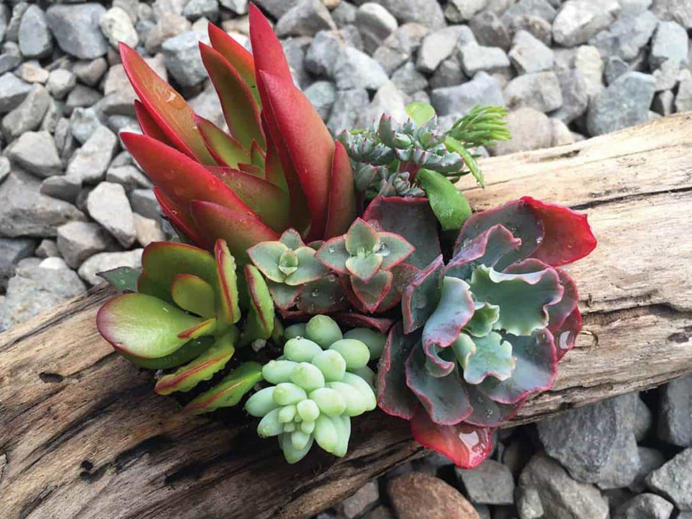 oc succulent, assortment, mothers day gift