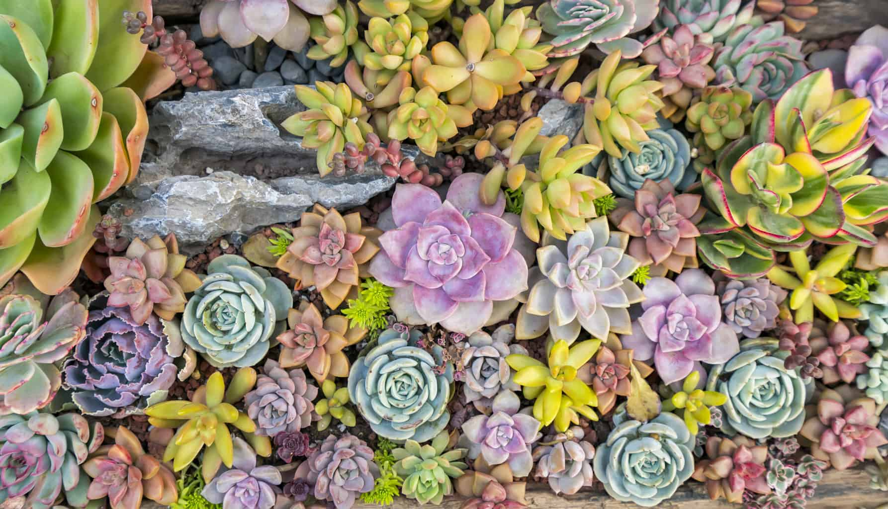 rock garden oc succulents