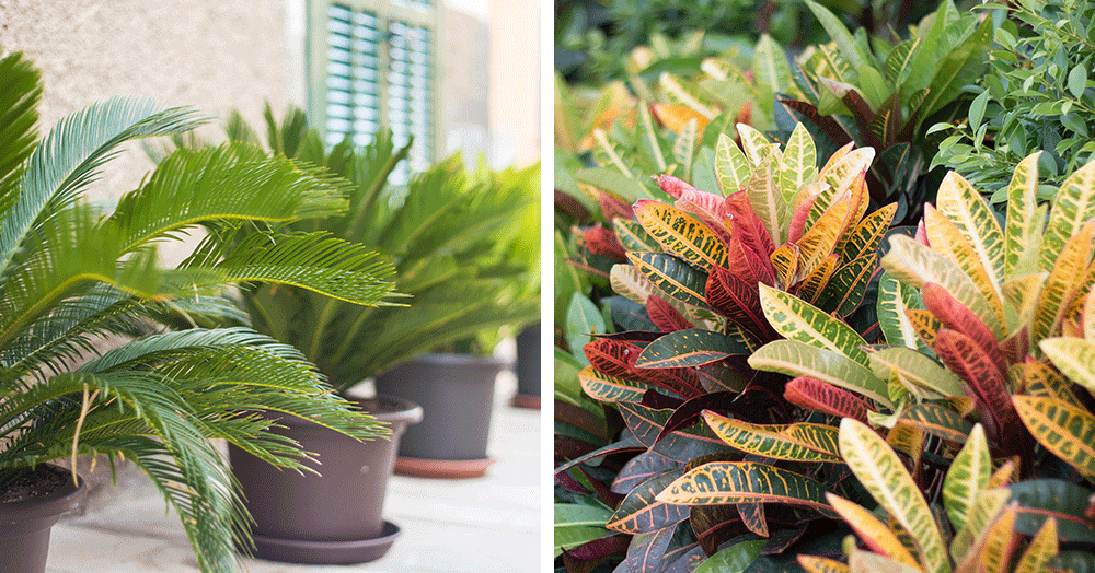 croton and fern outside in summer