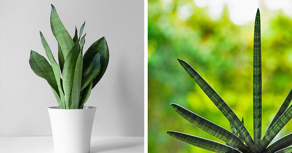 snake plants oc succulents