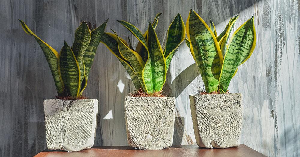 snake plant oc succulents
