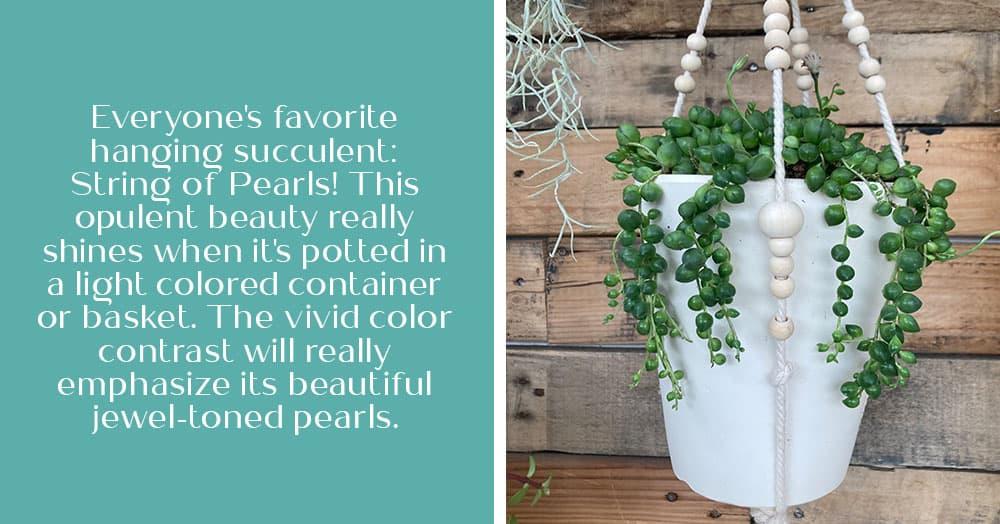 6 trailing succulents for hanging baskets oc succulents