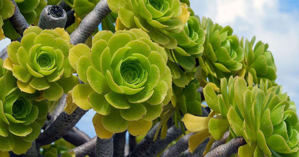 drought-tolerant plants oc succulents