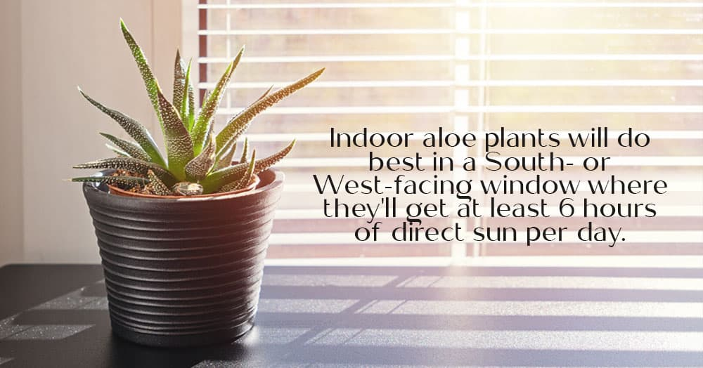 how to care for aloe plant oc succulents