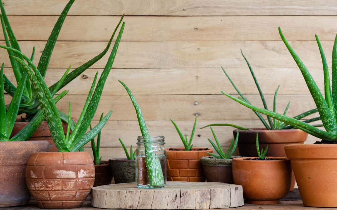 Aloe 101: How to Care For Your Aloe Plant