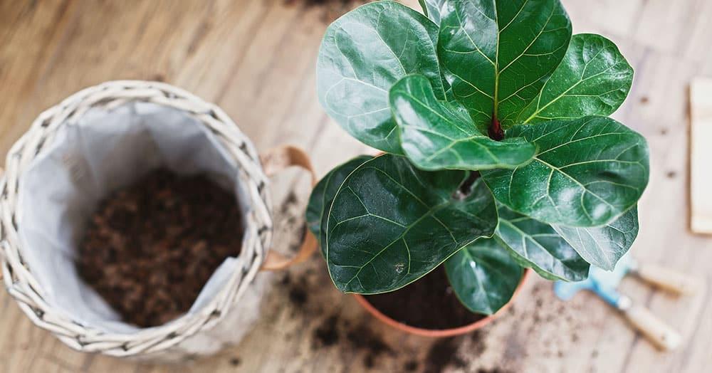 fiddle leaf fig care oc succulents