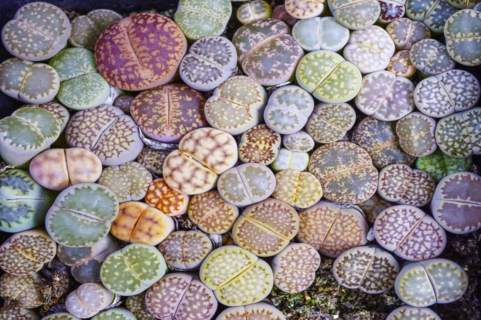lithop plants oc succulents